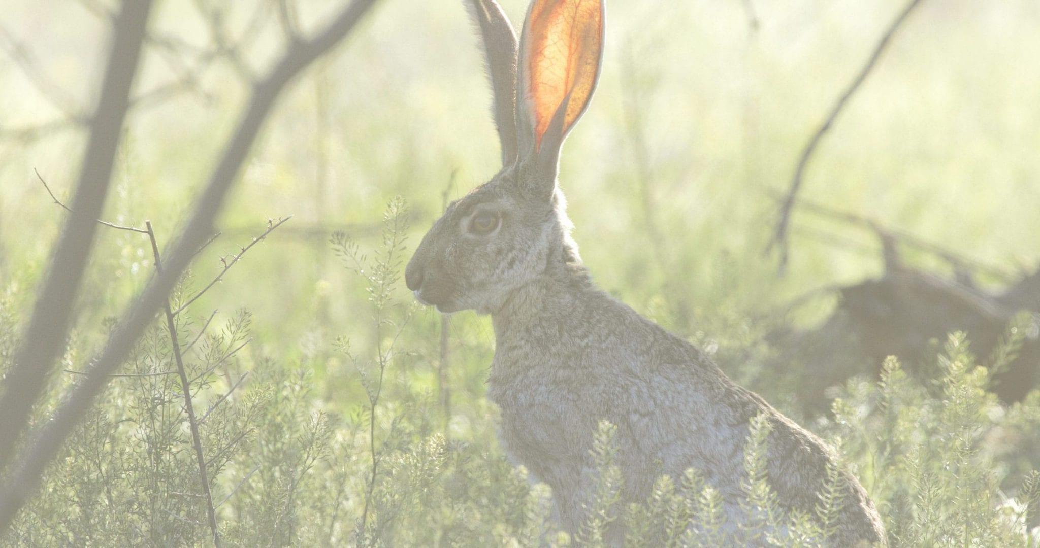 Sophie Hamilton rabbit